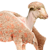 Photo Effects Week: Create a Lamb&#8217;s Coat in Photoshop