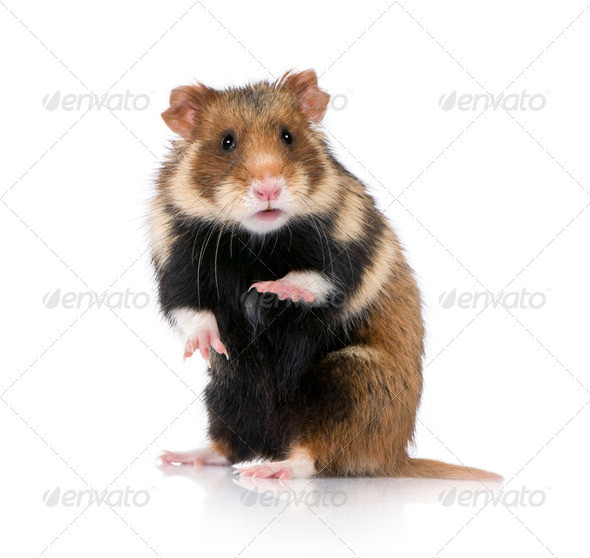 European Hamster. courtesy.  Lifeonwhite.